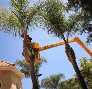 Palm Tree Trimming-Chula Vista CA Tree Trimming and Stump Grinding Services-We Offer Tree Trimming Services, Tree Removal, Tree Pruning, Tree Cutting, Residential and Commercial Tree Trimming Services, Storm Damage, Emergency Tree Removal, Land Clearing, Tree Companies, Tree Care Service, Stump Grinding, and we're the Best Tree Trimming Company Near You Guaranteed!