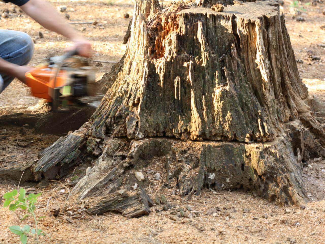 Stump Removal-Chula Vista CA Tree Trimming and Stump Grinding Services-We Offer Tree Trimming Services, Tree Removal, Tree Pruning, Tree Cutting, Residential and Commercial Tree Trimming Services, Storm Damage, Emergency Tree Removal, Land Clearing, Tree Companies, Tree Care Service, Stump Grinding, and we're the Best Tree Trimming Company Near You Guaranteed!